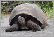galapagos_tortoise