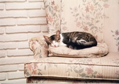 cat on fancy couch